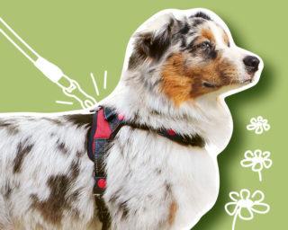 Accessoire harnais pour le chien